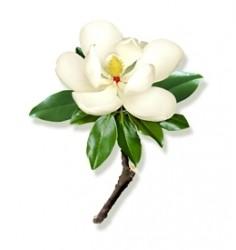 magnolia_grandiflora