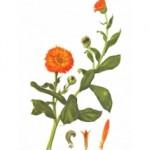 Calendula officinalis L. Familia : Asteráceas